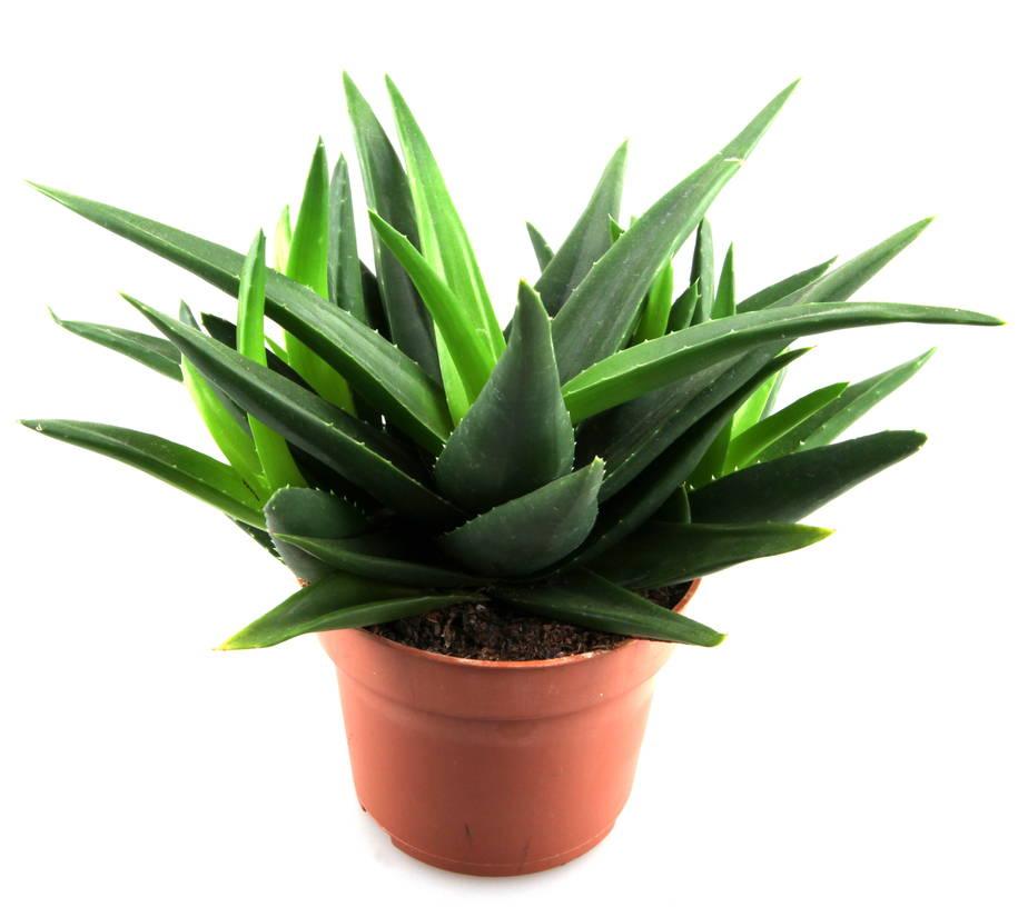 Aloe Vera Care For Beginners Succulent Care Repotme