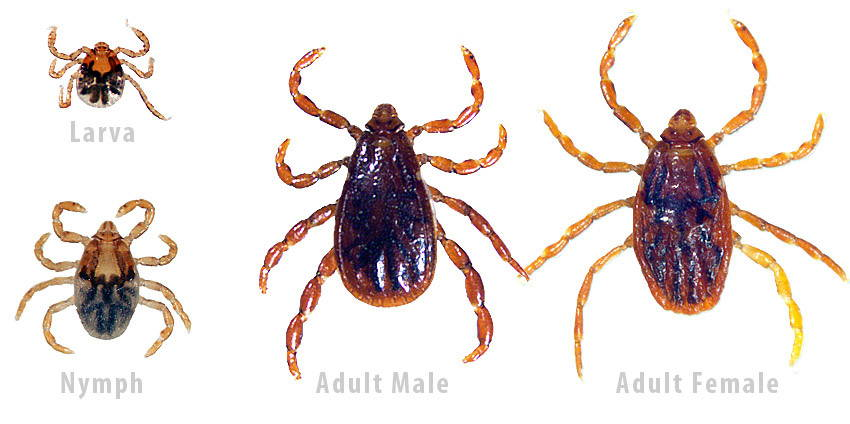 brown dog tick identification