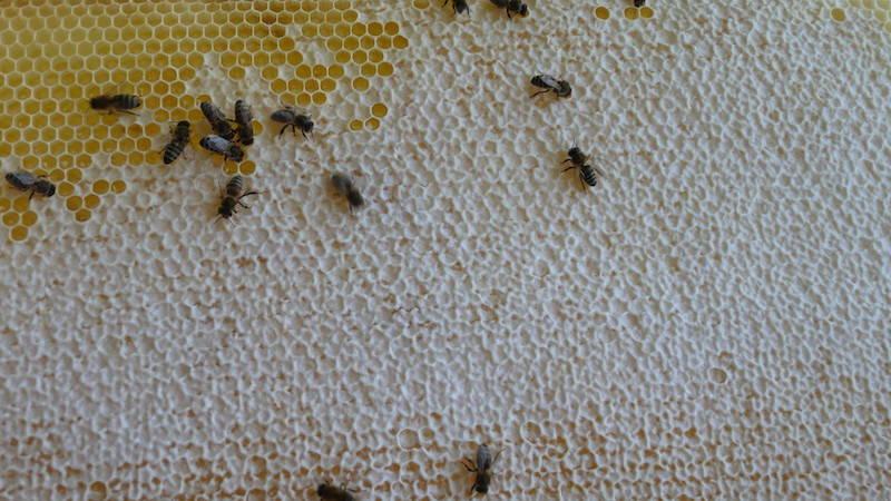Blick auf ein Honigwabe mit Bienen