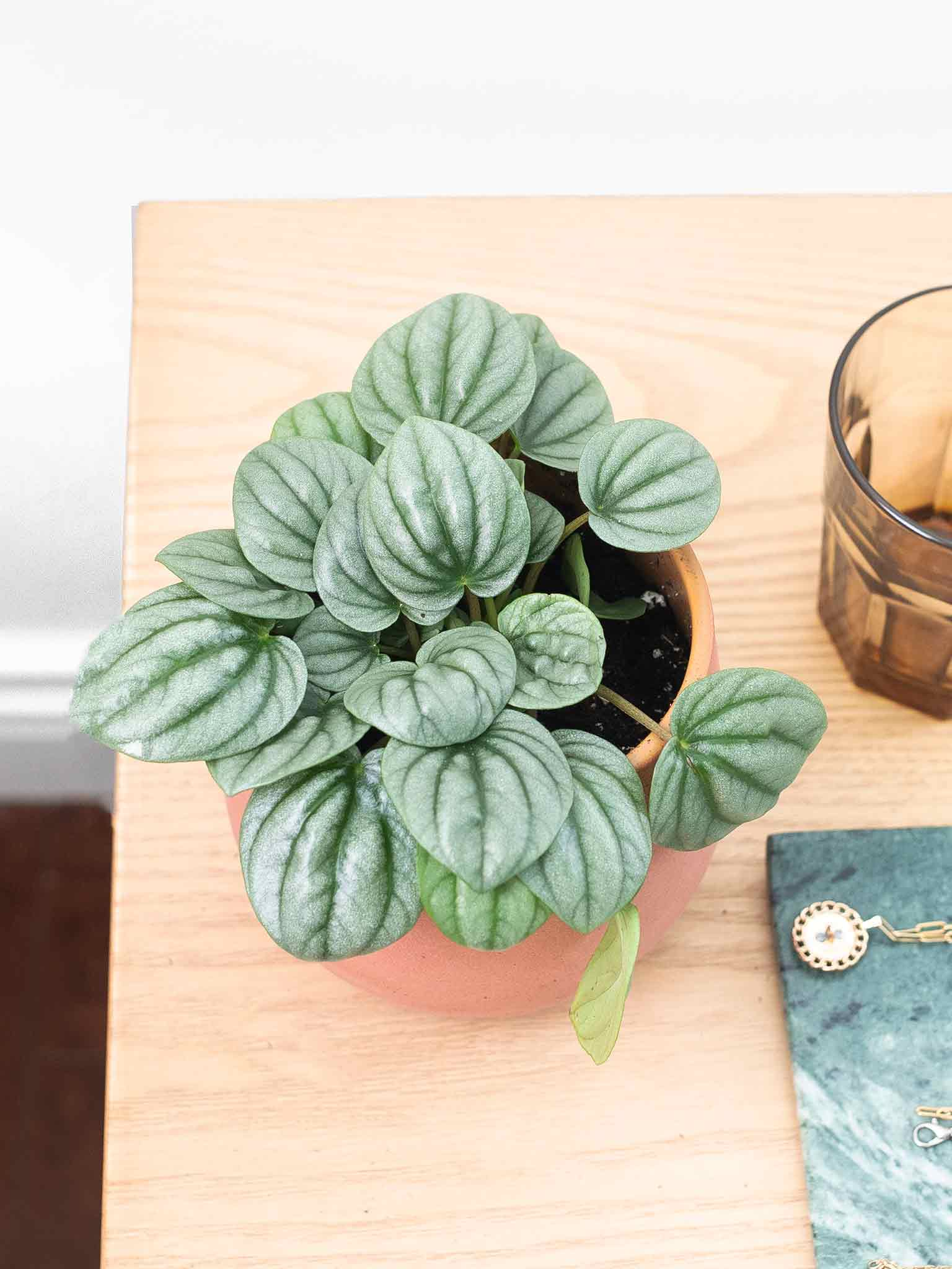 Silver ripple peperomia on a desk