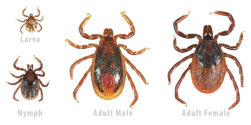 western-blacklegged tick identification