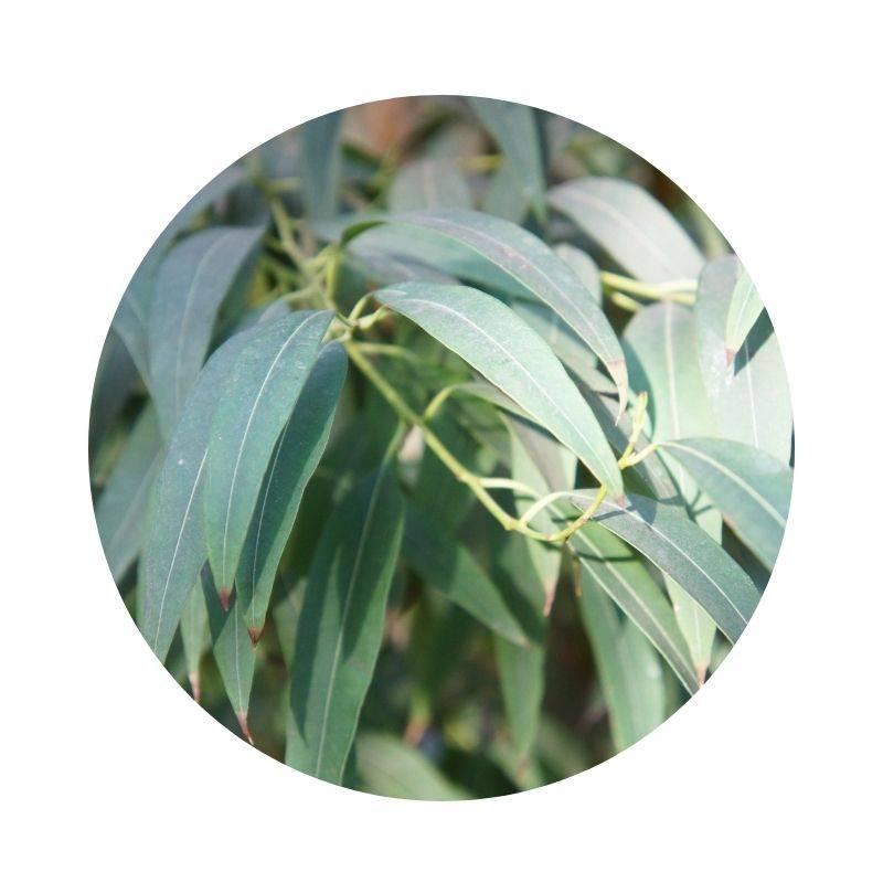 Heilen, Heilwirkung, Wirkung von Eukalyptus