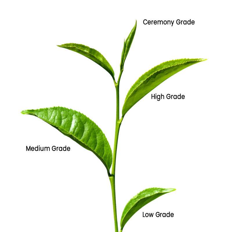 camellia sinensis tea plant for matcha tea