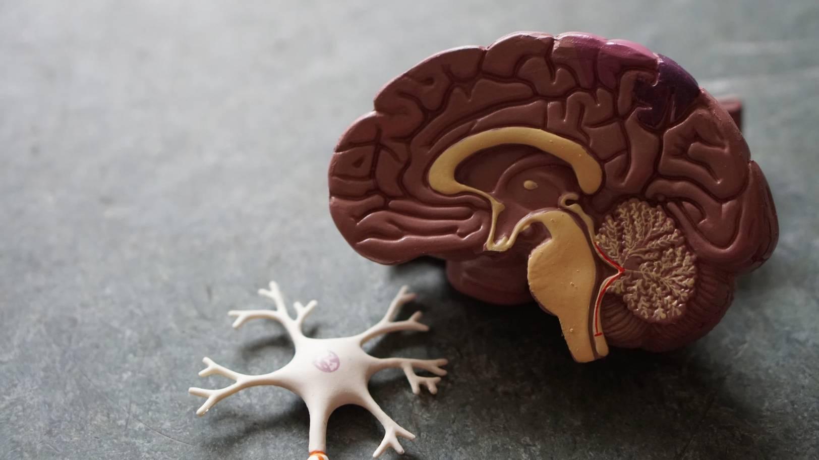 nerves, neurons, brain cells, cells, growth, neurogensis, nervous system, alzheimer's, parkinson's, huntington's, multiple sclerosis, denegeration, spasticity, cns, neural, neuron, growth, cbd, cbg, cbg oil, hemp