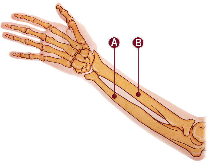 FOREARM ANATOMY ILLUSTRATION