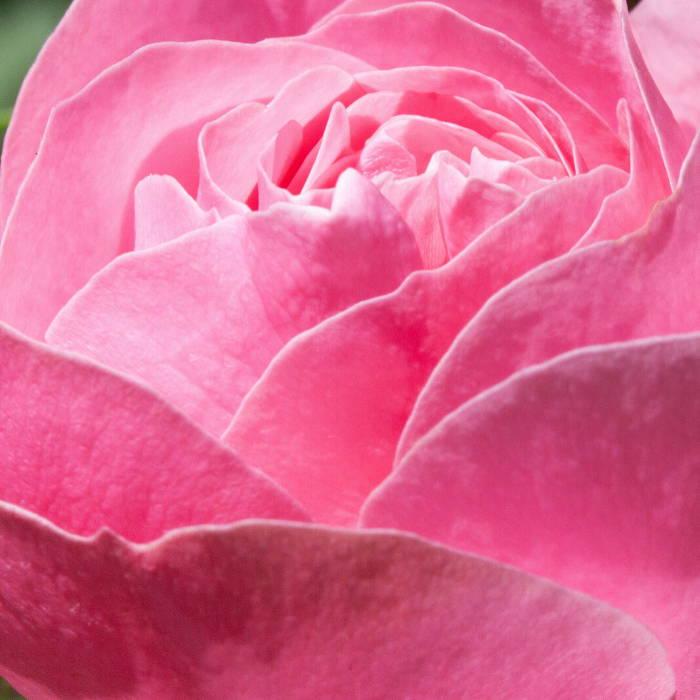 Rose Damascena