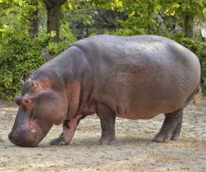To Save The Hippos