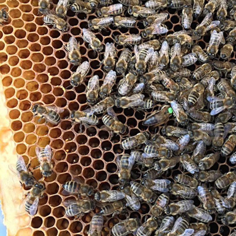 Blick auf eine Bienenwabe mit Bienen und Bienenkönigin