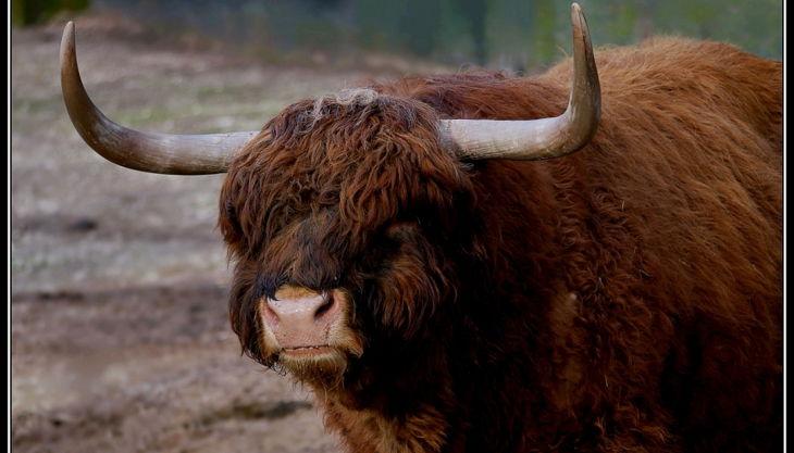 tiergarten nürnberg schottisches hochlandrind derlandschaftszoo beckmannuwe