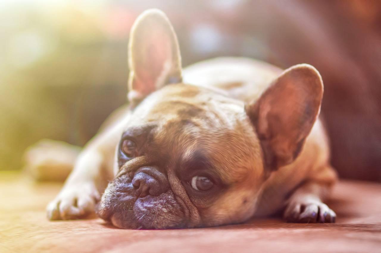 Diagnose - wie wird Zwingerhusten beim Hund festgestellt?