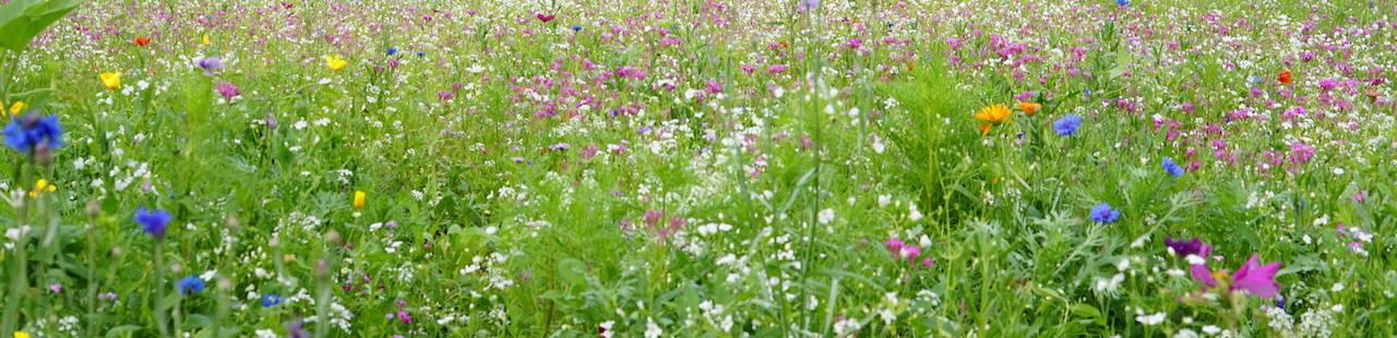 Bunte Bienenfreundliche Wiese mit vielen Blumen