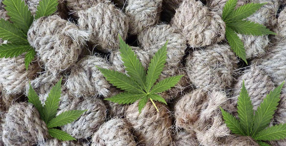 Hemp is an annual herbaceous plant of the species cannabis sativa, meaning useful hemp. It replaces trees as the source of raw material for wood and paper, thereby conserving forests.