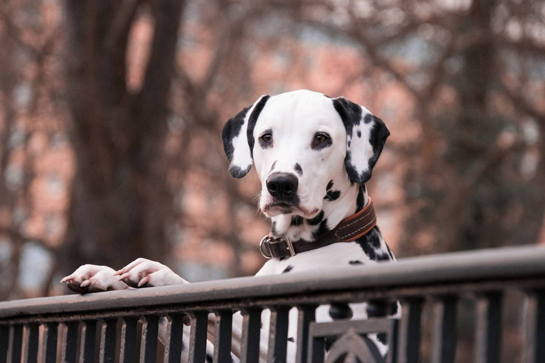 Scheinträchtigkeit beim Hund - Titelbild