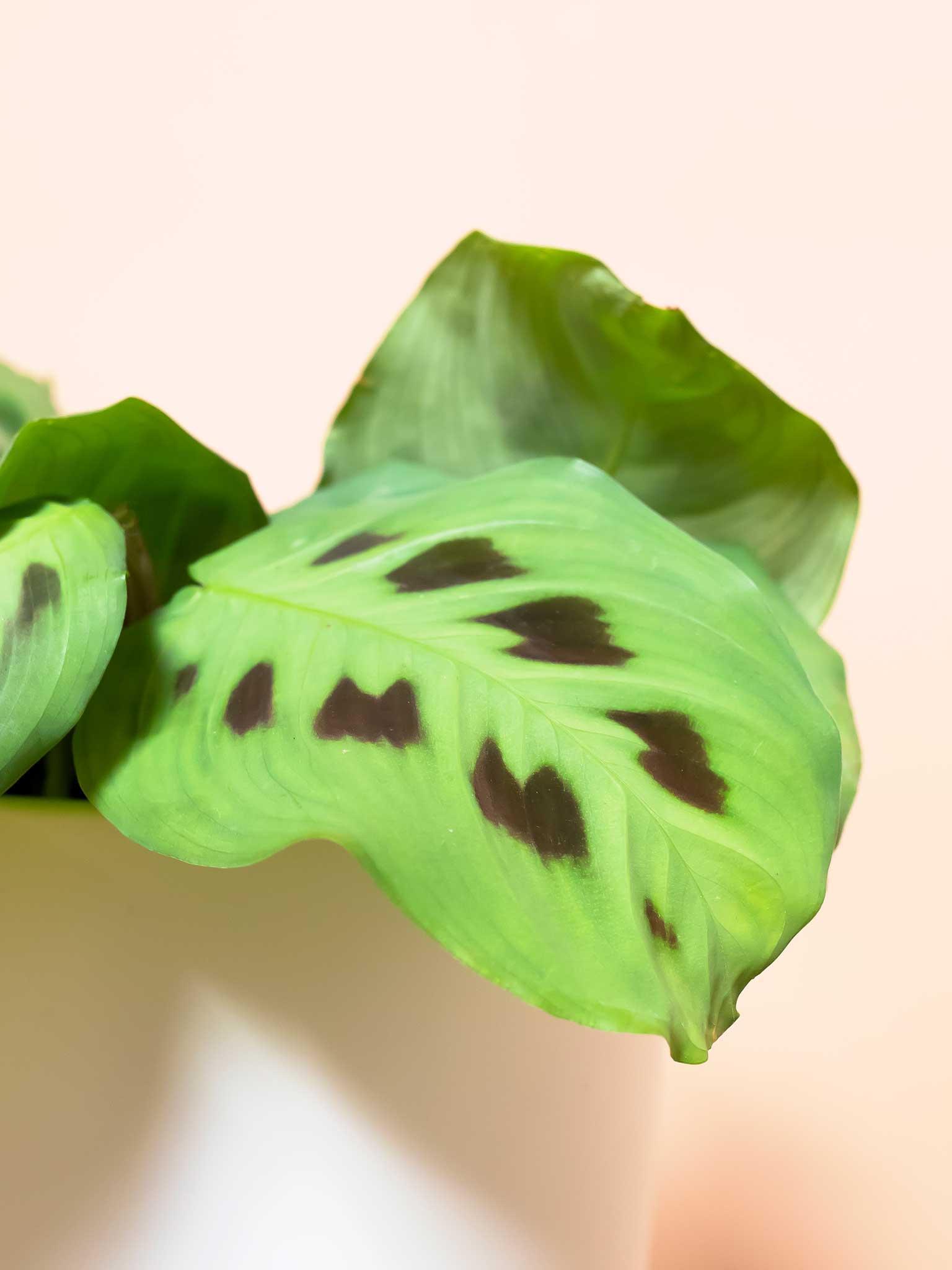 Green prayer plant leaf