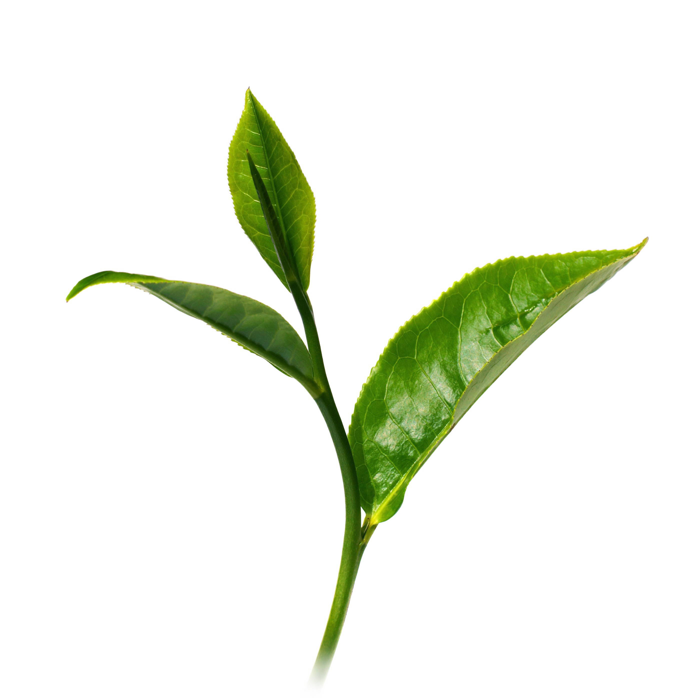 Tea tree leaf, essential oil blog, satopradhan vision
