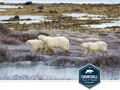 Canadian Tundra Polar Bear Safari, 5 Nights