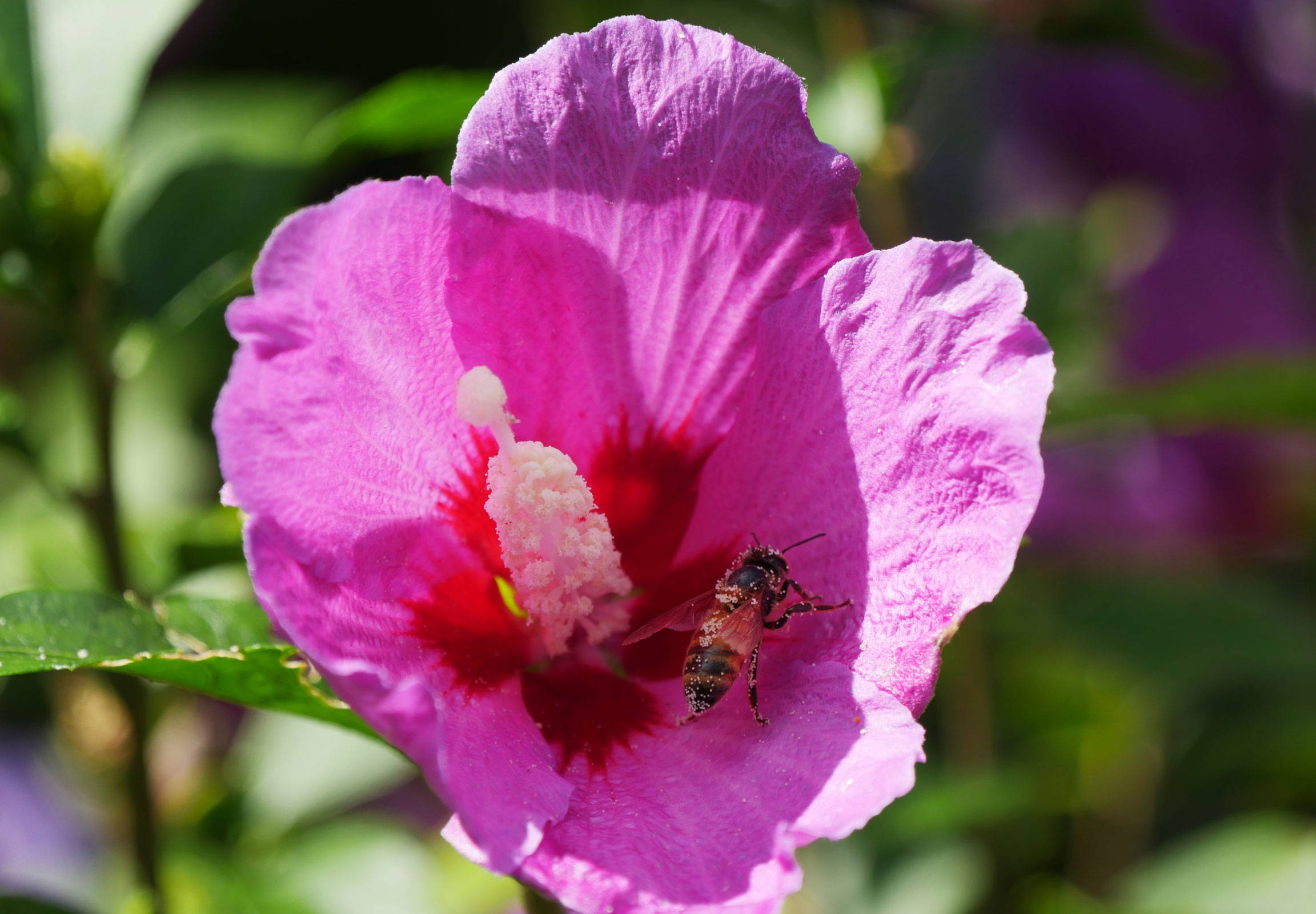 Bee on a rose of sharon flower