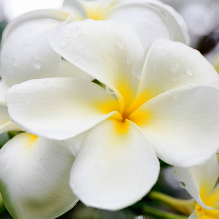 Gardenia Tahitensis Flower