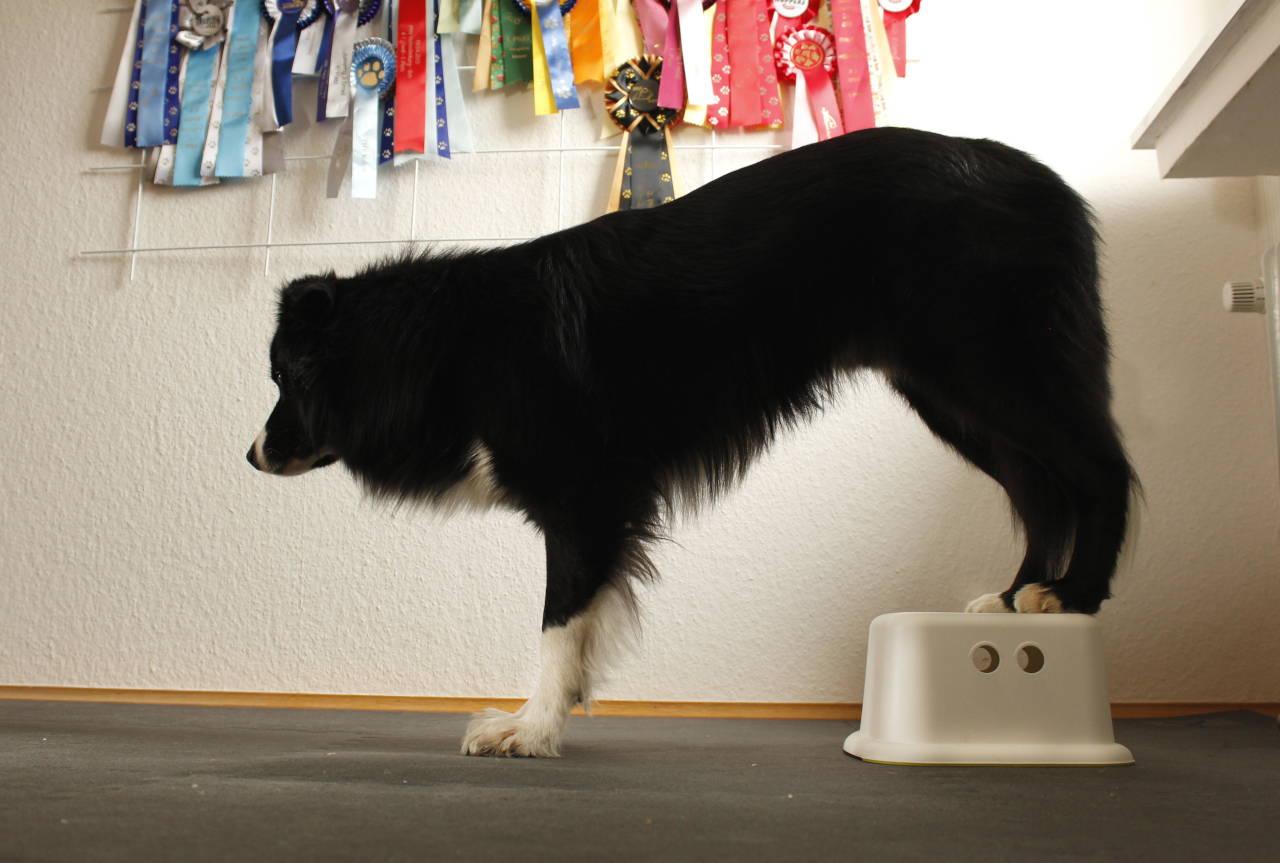 Hinterhandkoordination Hund Übung zuhause