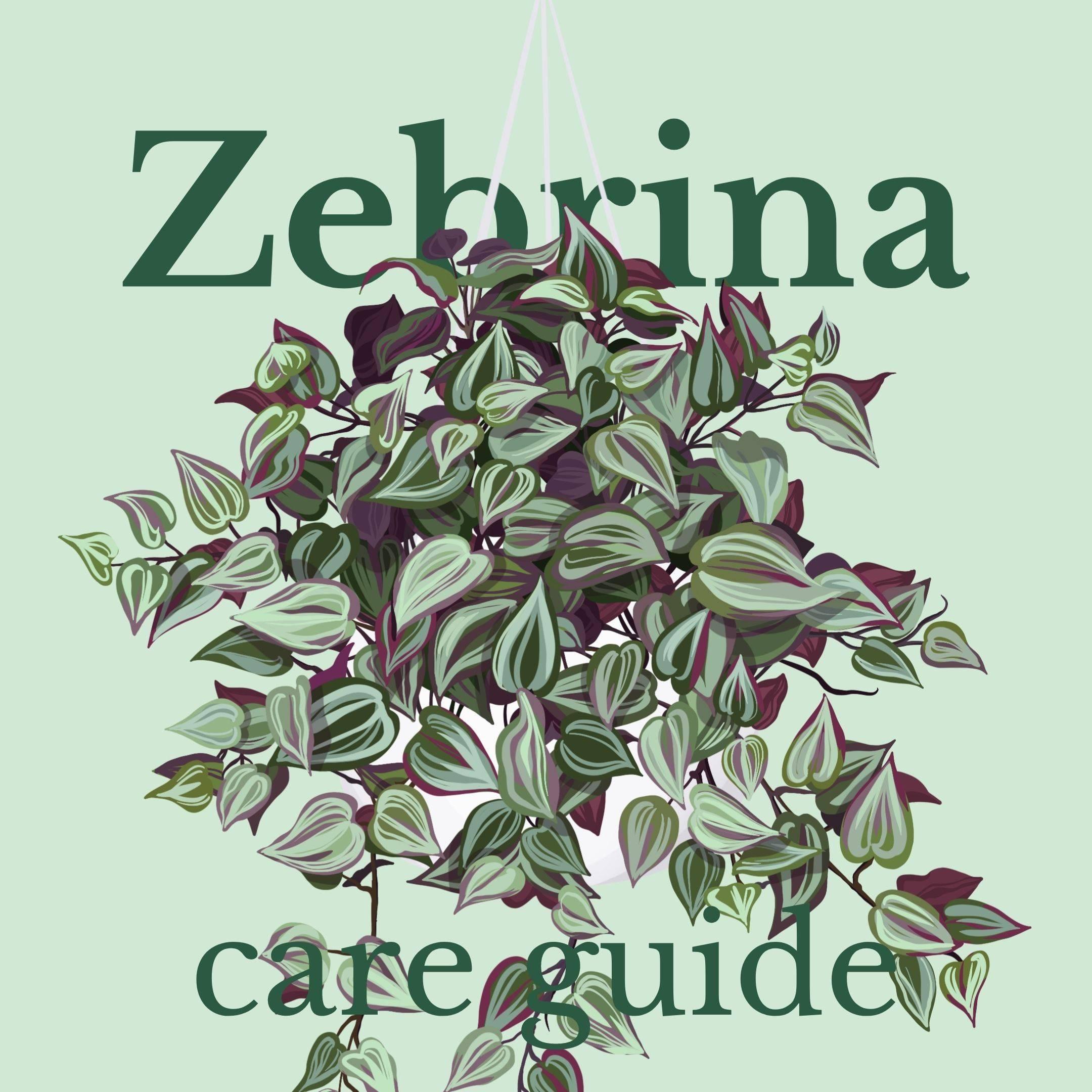 Drawing of Zebrina plant