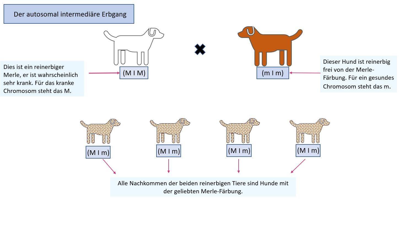 Grafik: Vererbung des Merle-Gendefekts zwischen reinerbigem und Merle-freiem Hund