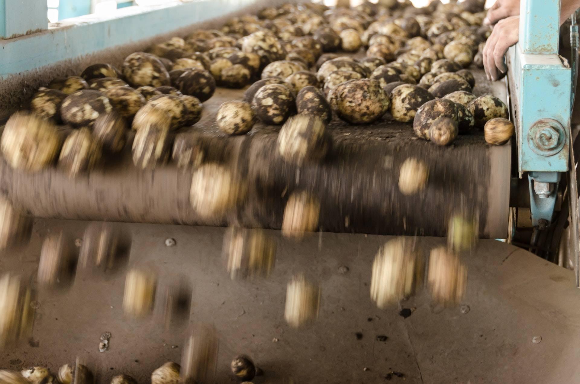 Phot of potatoes falling of a conveyor belt