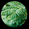 curry leaf ayurveda benefits | Dendera Naturally