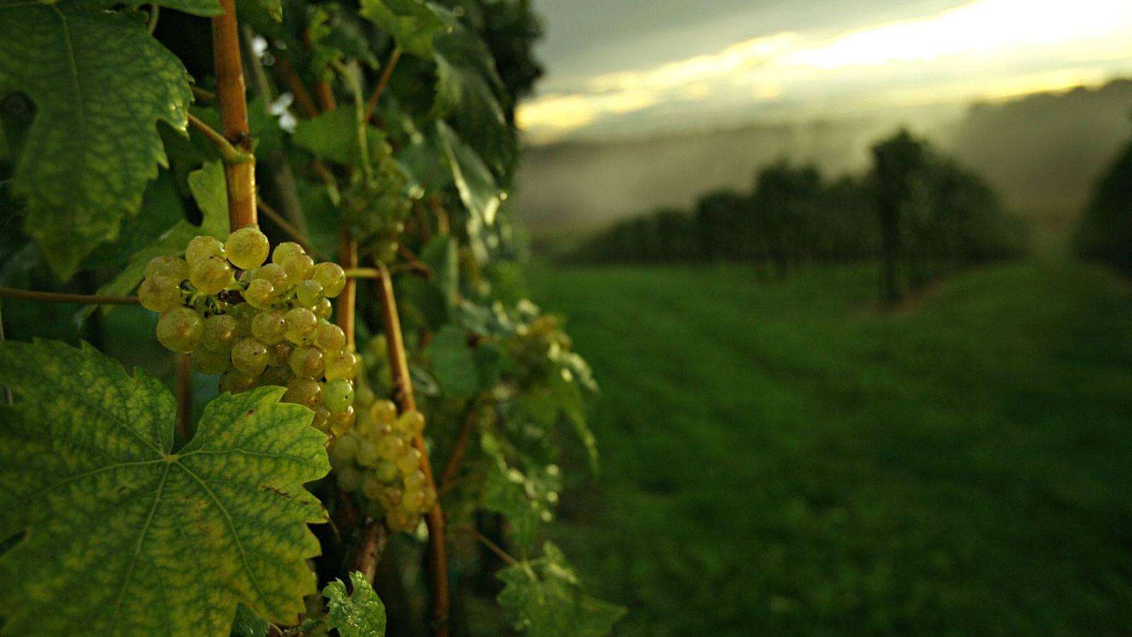 Blick über den Weinberg in St. Nikolai ob Draßling – Weingut Trummer