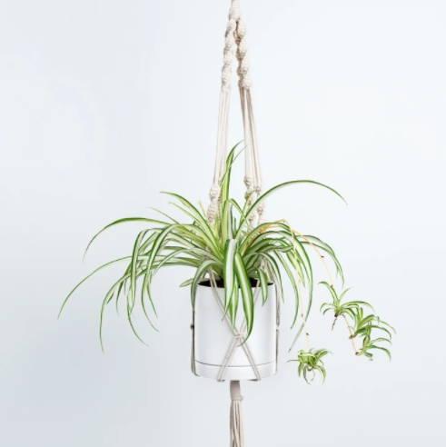 Sleepzone,bestplant,bedroom,newyear,apiderplant