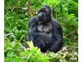 LIVE AUCTION PREVIEW:  12-Night East Africa Trip with Gorilla Trekking