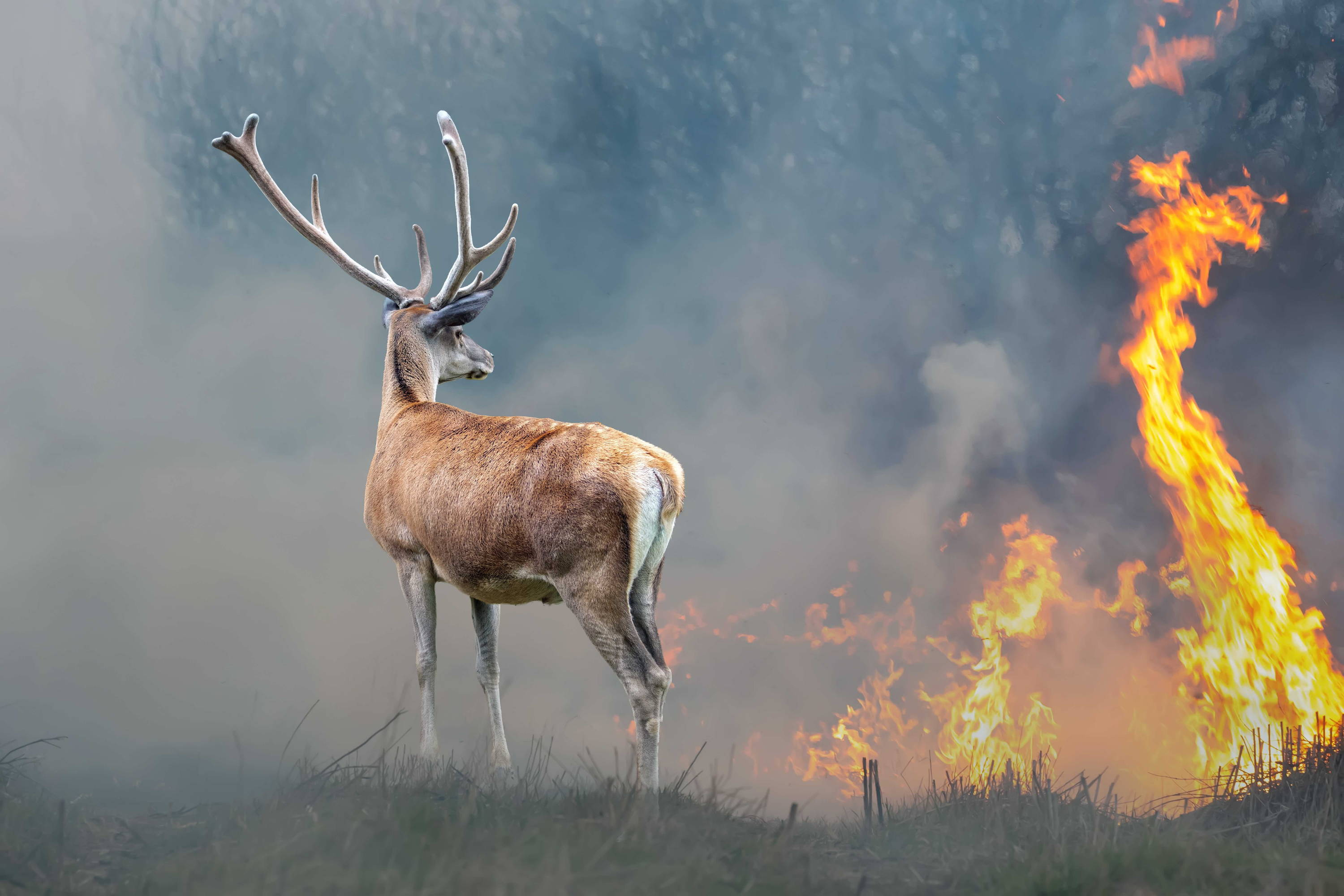 Stag by blazing forest