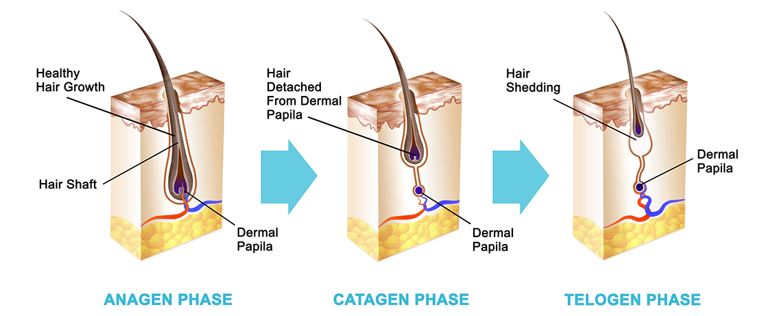 Hair Growth Stages