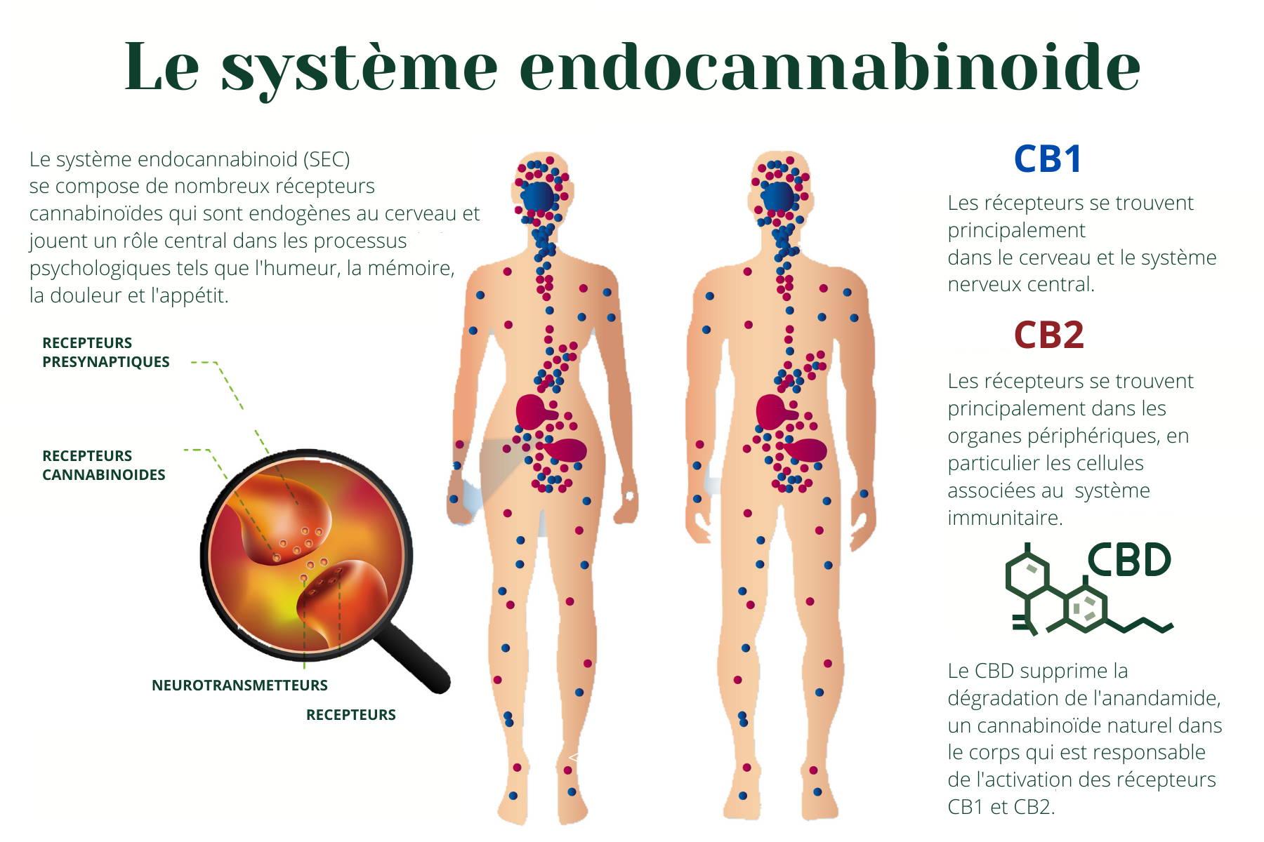 système endocannabinoide cannabinoides