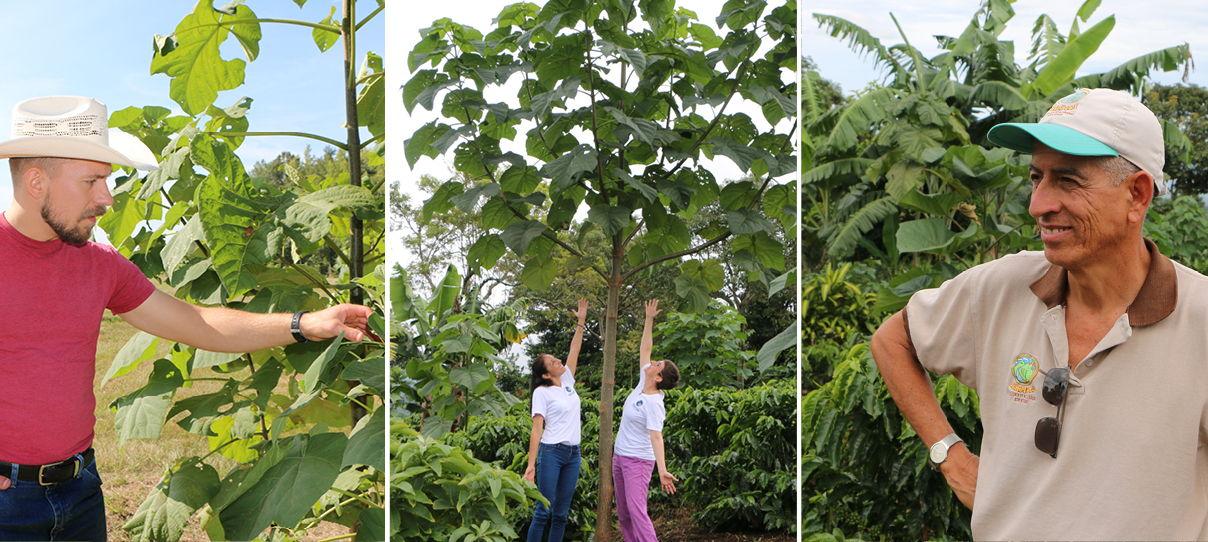 Shade Trees aka Princess Tree 5 Paulownia Elongata Plants Empress Tree