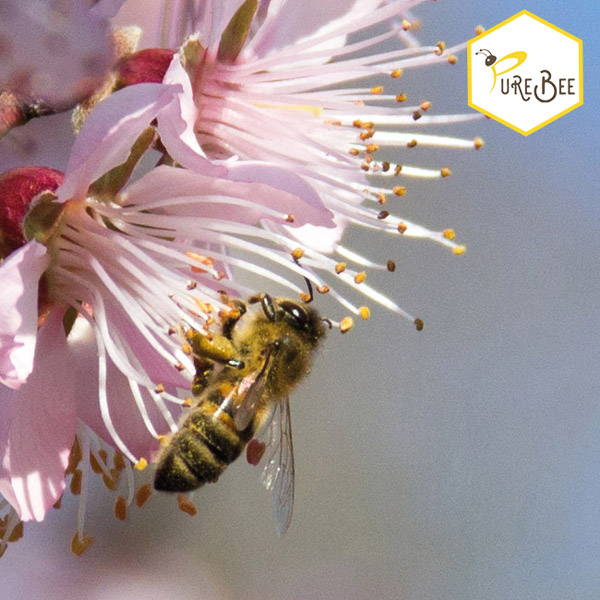 honeybee sucking nectar from a pink flower