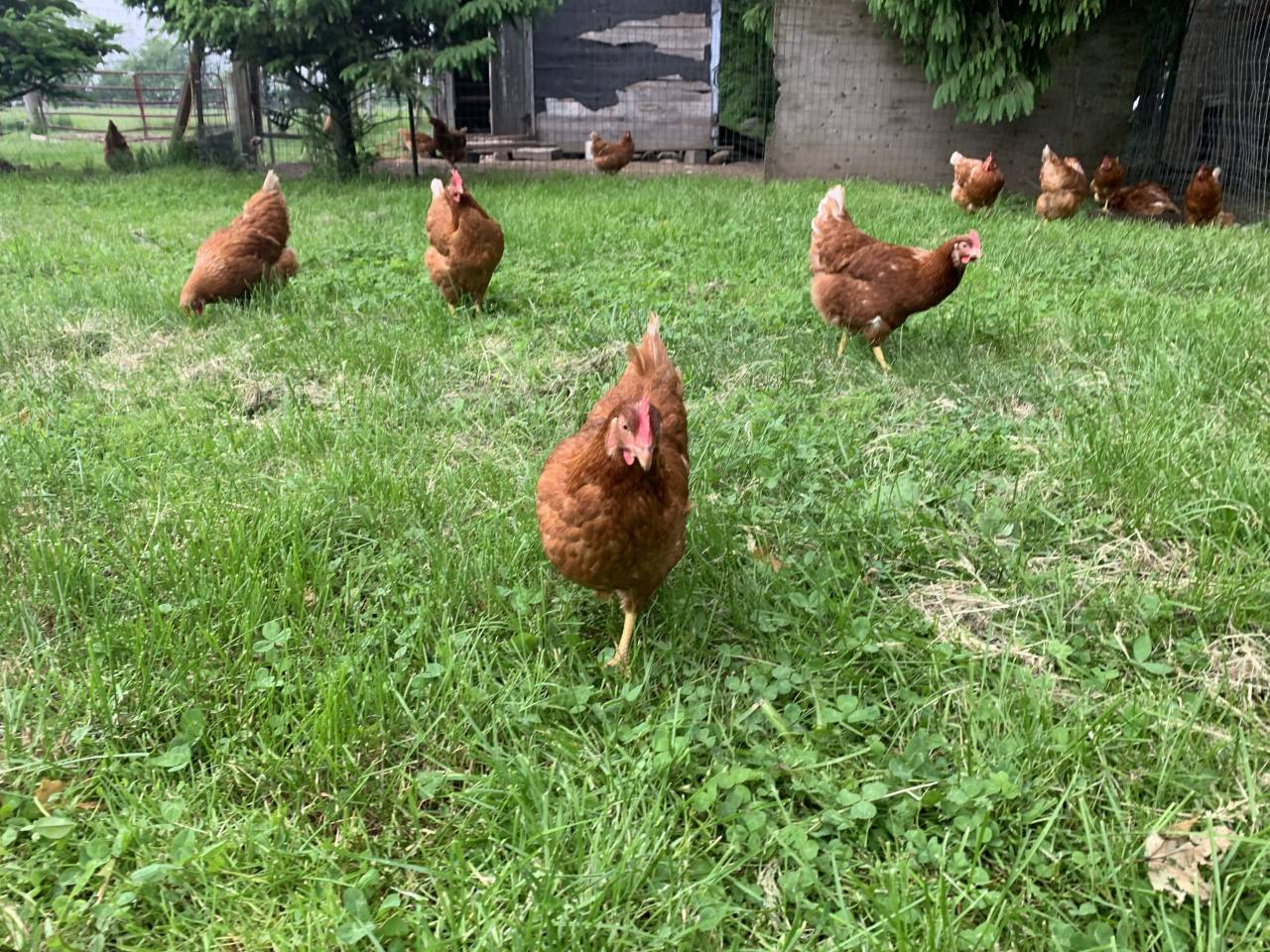free range eggs, pasture hens, guelph,arthur,fergus