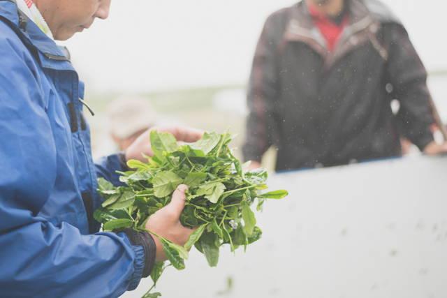 A tea farmer checking the quality of the matcha tea leaves.