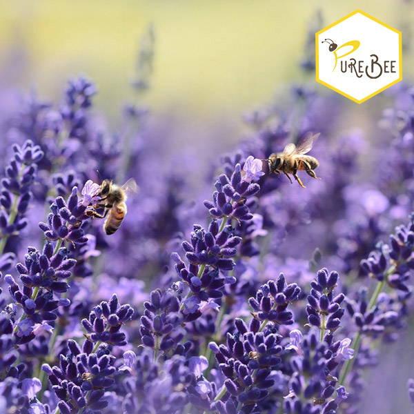 honeybees flying in a lavender field