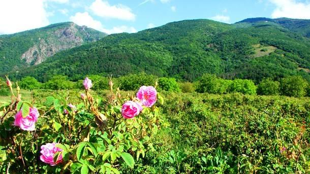 Field of roses in Bulgaria