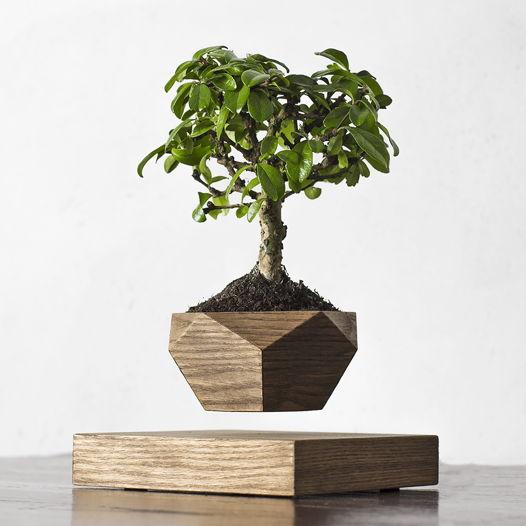 Левитирующее растение Wood Бонсай темный