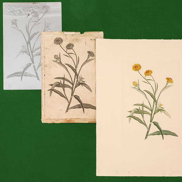Banks Florilegium The engraved plate, a black trial proof and a finished print of Plate 740 Helichrysum armillaris