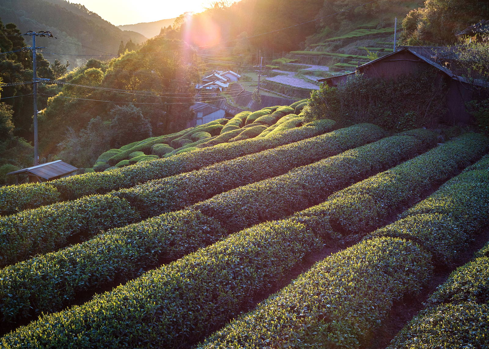 Japanese matcha tea production | Tea farm