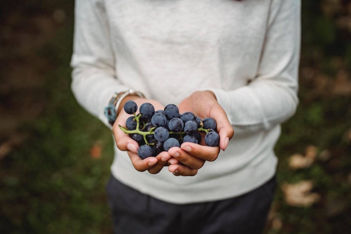 Man holding black grape variety demonstrating the impact it has on the wine taste.