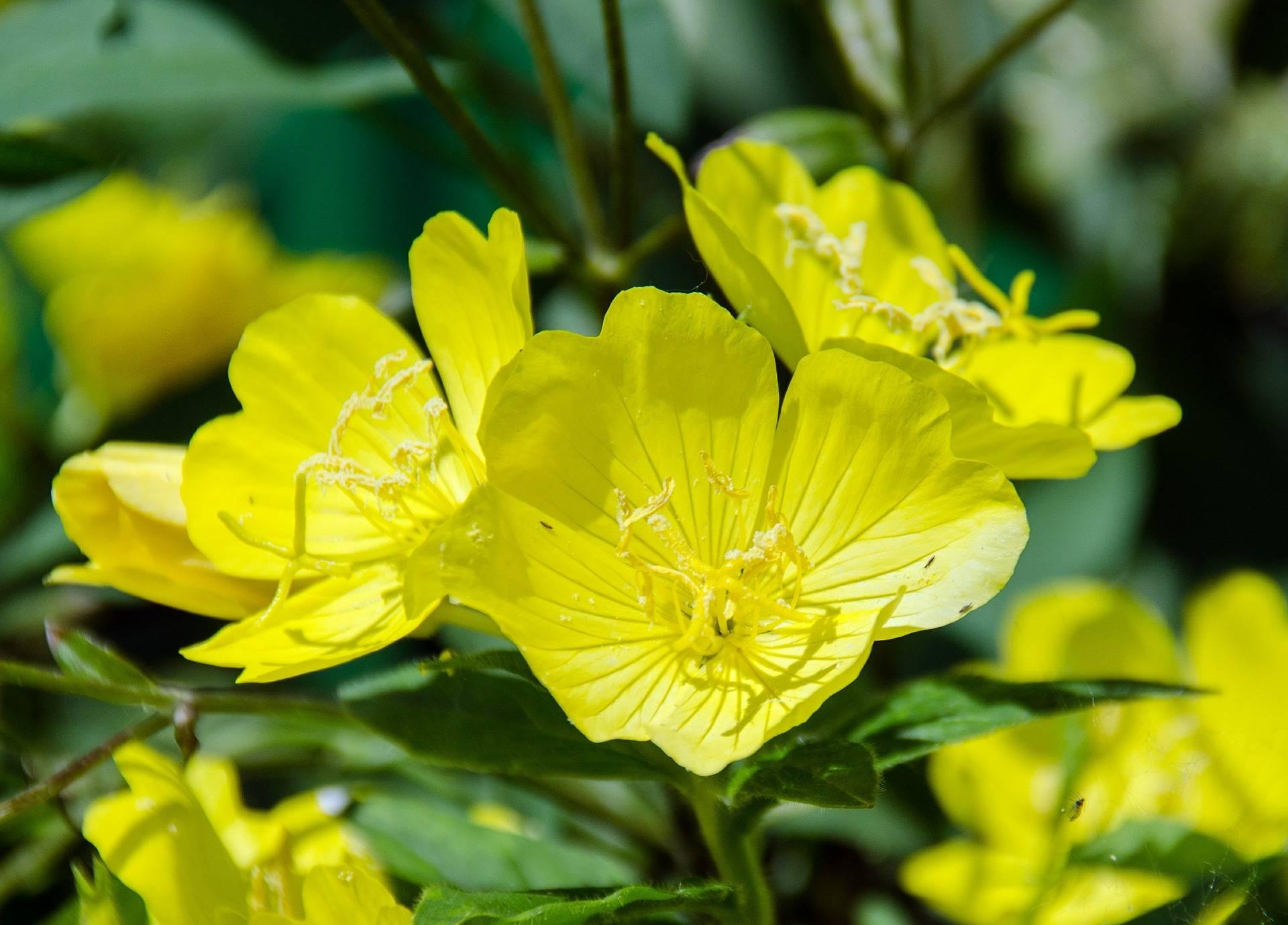 Nachtkerzen-Blume