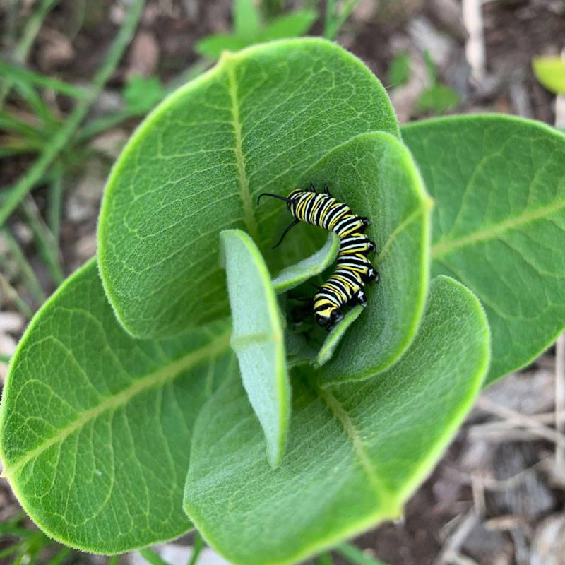 Monarch caterpillar on a milkweed leaf