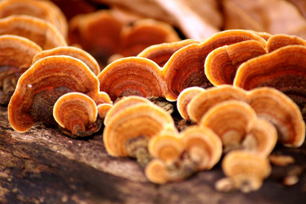 Reishi, a medicinal mushroom to reduce stress and boost immunity