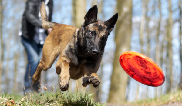 German Shepard Dog health and vitality from freeze dried raw dog treats.