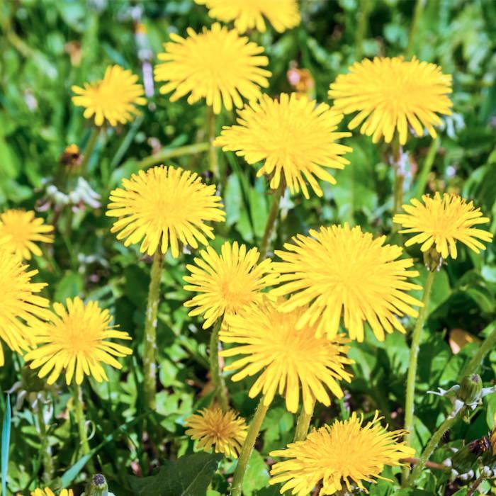A field of yellow dandelion flowers