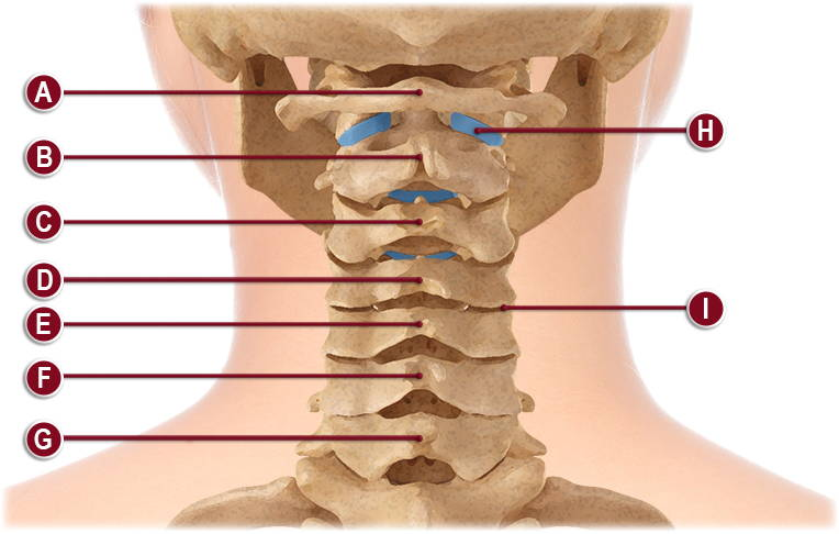 CERVICAL SPINE ANATOMY ILLUSTRATION
