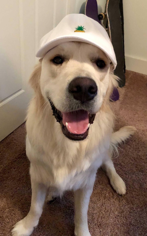 golden retriever wearing hat